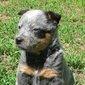 Bluedog1a